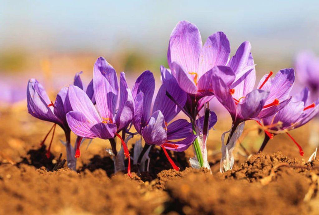 trồng hoa nghệ tây ở việt nam